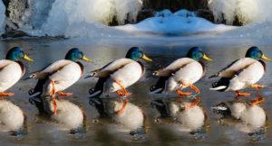 Enten stehen in einer Reihe hintereinander