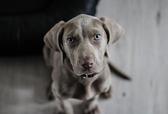 Nahaufnahme eines Weimaraner Hundes