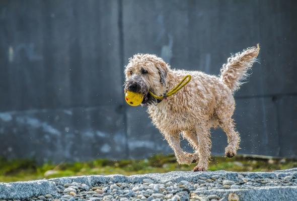 Spielender Hund mit Ball in dem Mund.